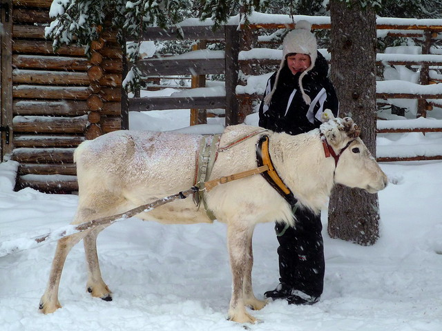 Un reno finlandés