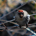 Carduelis flammea, Common Redpoll
