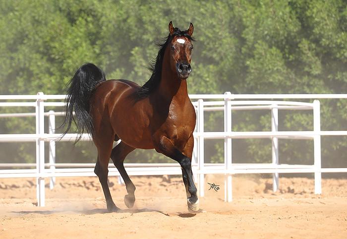 Arabian Horse ،،