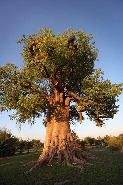 Africa, Baobab tree | Flickr - Photo Sharing!
