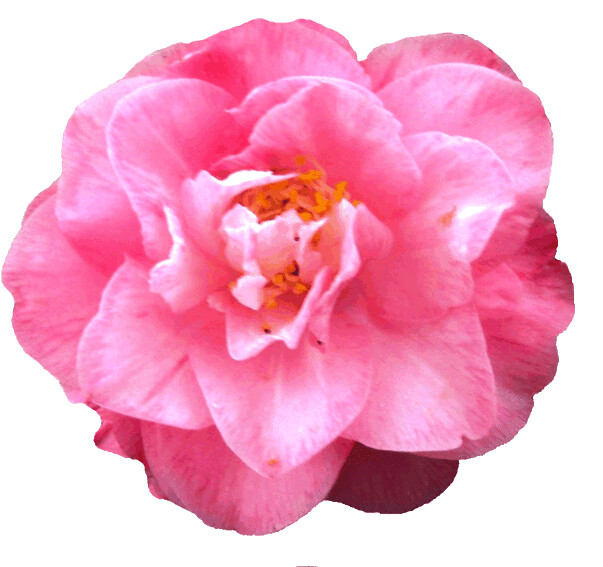 camellia clipart, lge 15cm | Flickr - Photo Sharing!