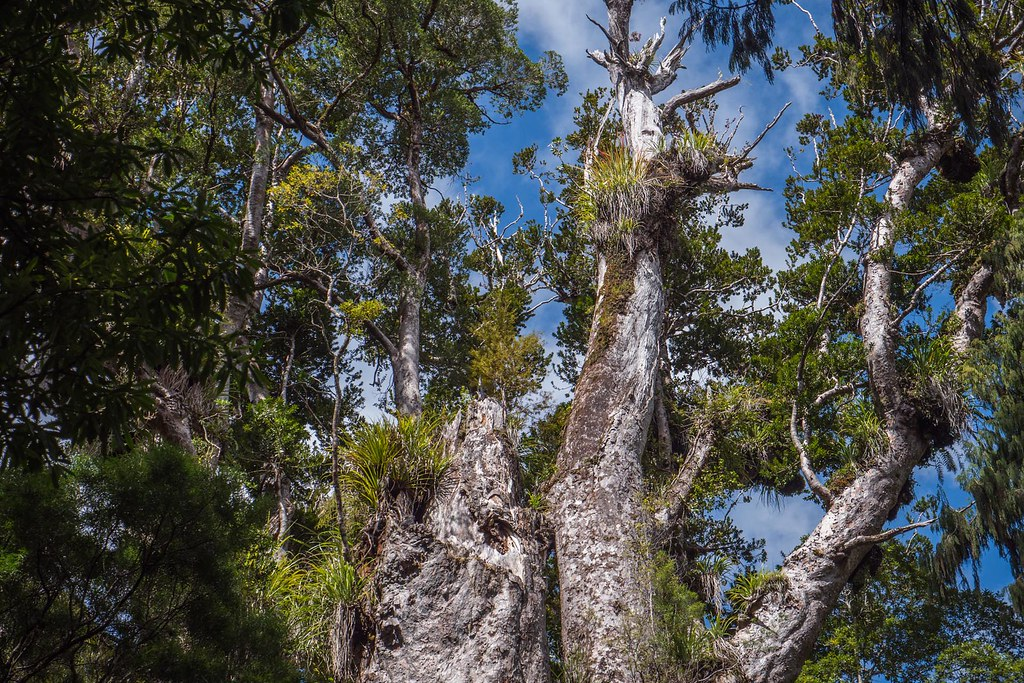 Waipuoa Forest Kauri Trees-3-2