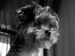 dog breed, animal, dog, schnoodle, white, pet, monochrome photography, morkie, affenpinscher, monochrome, carnivoran, black-and-white, black, terrier,
