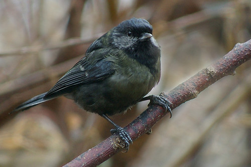 Black Great Tit 4