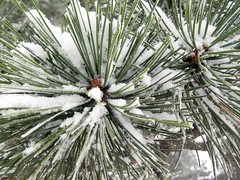 Snow in pine needles