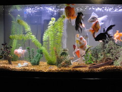 fish(1.0), organism(1.0), marine biology(1.0), goldfish(1.0), aquarium lighting(1.0), freshwater aquarium(1.0), aquarium(1.0),