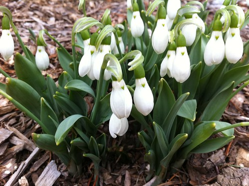 Snowdrops Sighting