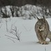 Canadian Lynx in the Snow by Ami 211