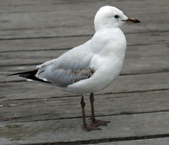 Sea gull at Darling Harbour
