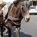 Horses, Donkeys and Mules