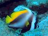 Singular bannerfish - SImilan, Thailand