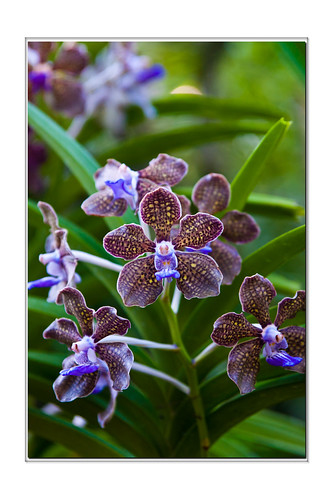 Singapore Orchid 19 by flyfshr2009
