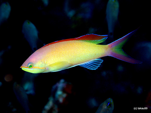 Flame anthias - Maldives