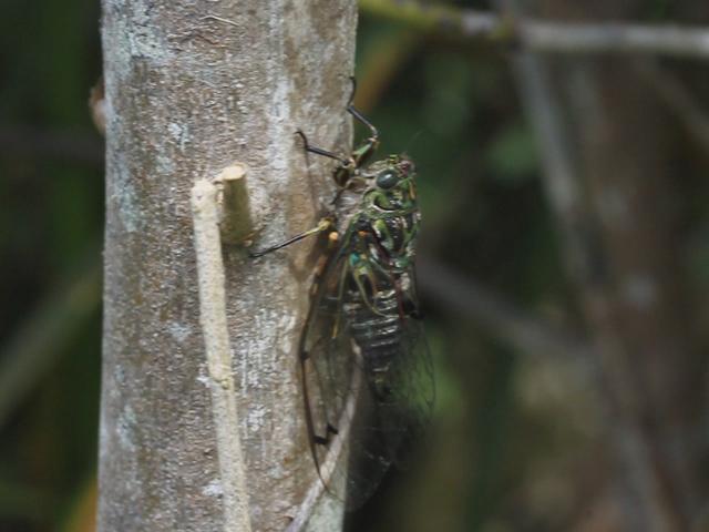 Chorus Cicada at Punakaiki