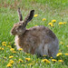 Brown Hare - Photo (c) Tomi Tapio K, some rights reserved (CC BY)