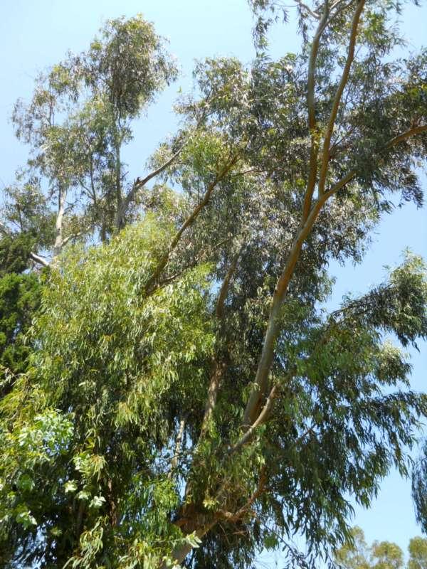 Eucalyptus globulus 'Labill' v 2