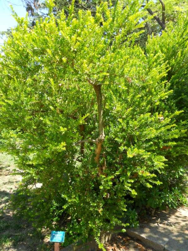 Myrtus communis 'Microphylla' v 1