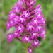 Anacamptis pyramidata - Pyramidal Orchid (Paul Harmes)