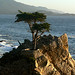 Lone Cypress Tree (Peter Dunn)