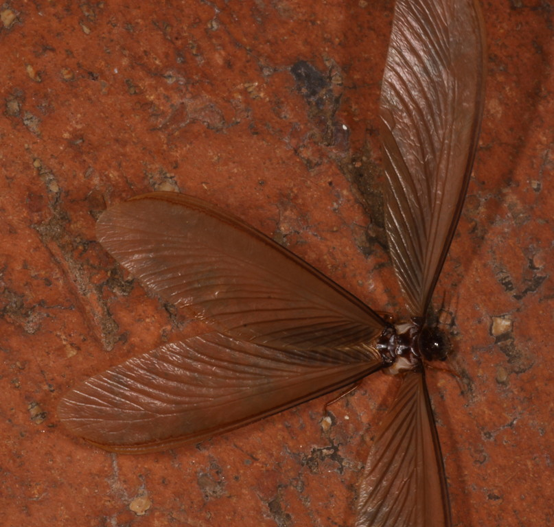 Ngumbi - flying termite