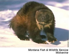 North American Wolverine