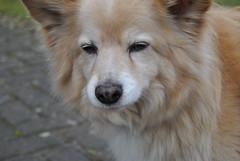 greenland dog(0.0), finnish spitz(0.0), rough collie(0.0), collie(0.0), wolfdog(0.0), saarloos wolfdog(0.0), dog breed(1.0), animal(1.0), dog(1.0), eurasier(1.0), german spitz(1.0), carnivoran(1.0), icelandic sheepdog(1.0),