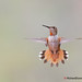 Colibri en vol / Hummingbird in flight by RichardDumoulin