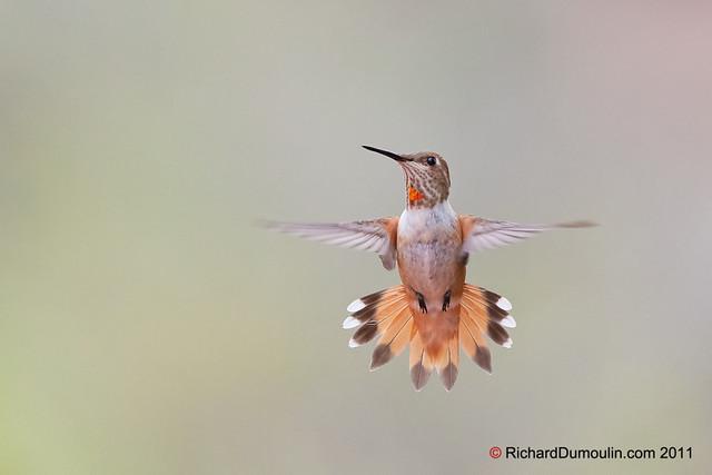 Colibri en vol / Hummingbird in flight
