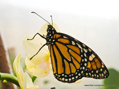 mariposa (12)