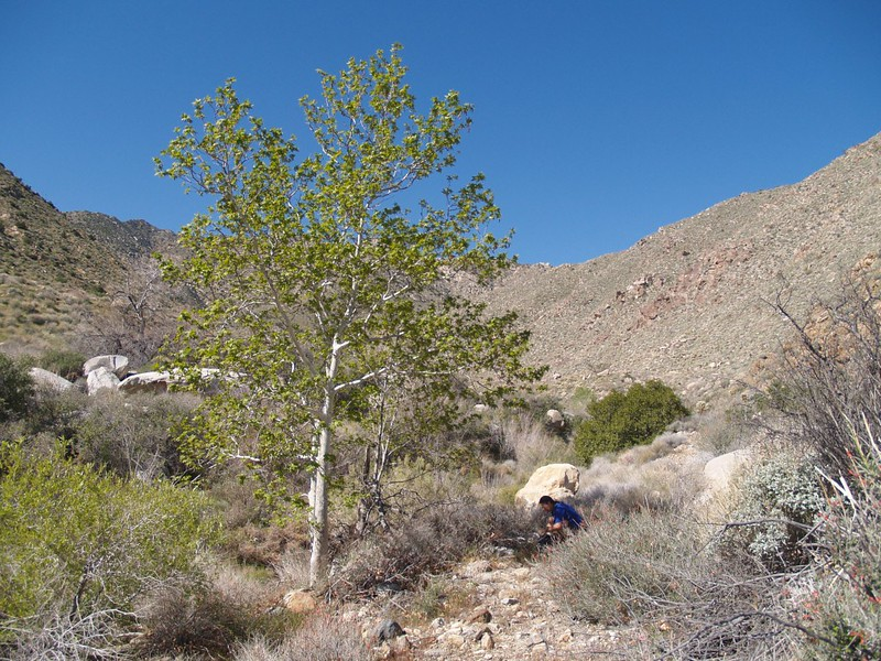 A sycamore tree in Indian Canyon near the small stream