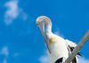 Pelican On A Street Light