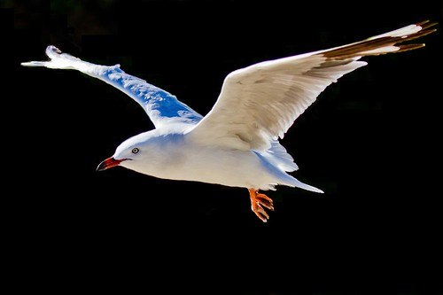 nature birds seagull ngc australia westernaustralia mewa specanimal masterphotos world100f absolutelyperrrfect artistoftheyearlevel4 aboveandbeyondlevel4 artistoftheyearlevel5 artistoftheyearlevel7 artistoftheyearlevel6