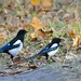 Magpie Couple