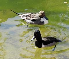 Ducky Duo