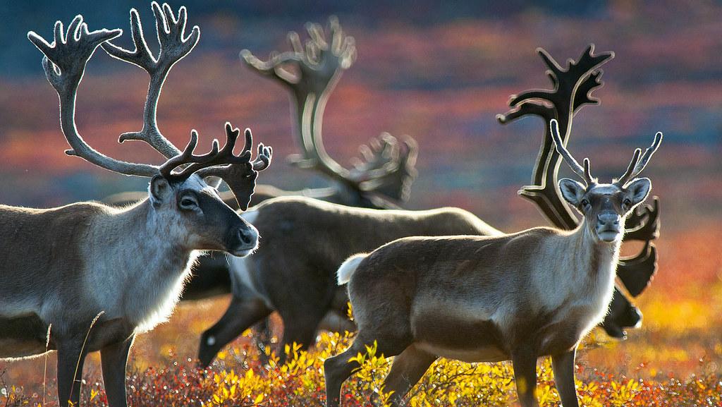 Barren lands caribou
