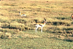 adventure(0.0), grazing(0.0), vicuã±a(0.0), pronghorn(0.0), animal(1.0), prairie(1.0), steppe(1.0), antelope(1.0), springbok(1.0), plain(1.0), mammal(1.0), herd(1.0), fauna(1.0), meadow(1.0), impala(1.0), savanna(1.0), grassland(1.0), safari(1.0), gazelle(1.0), wildlife(1.0),