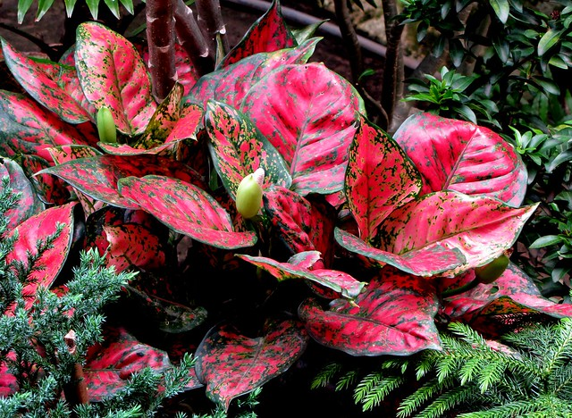 5467785658_844e875ac2_z Red Aglaonema Houseplants on red gerbera, red crotons, red fittonia, red house plants, red camellia, red acacia, red allamanda, red flowering plants, red narcissus, red photinia, red pineapple, red anthurium, red zebra plant, red peace lily, red tropical plants names, red angelonia, red aster, red variegated plants, red wandering jew, red anemone,
