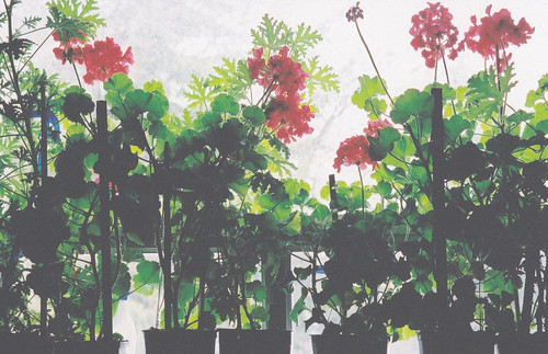 My Grandma's geraniums.