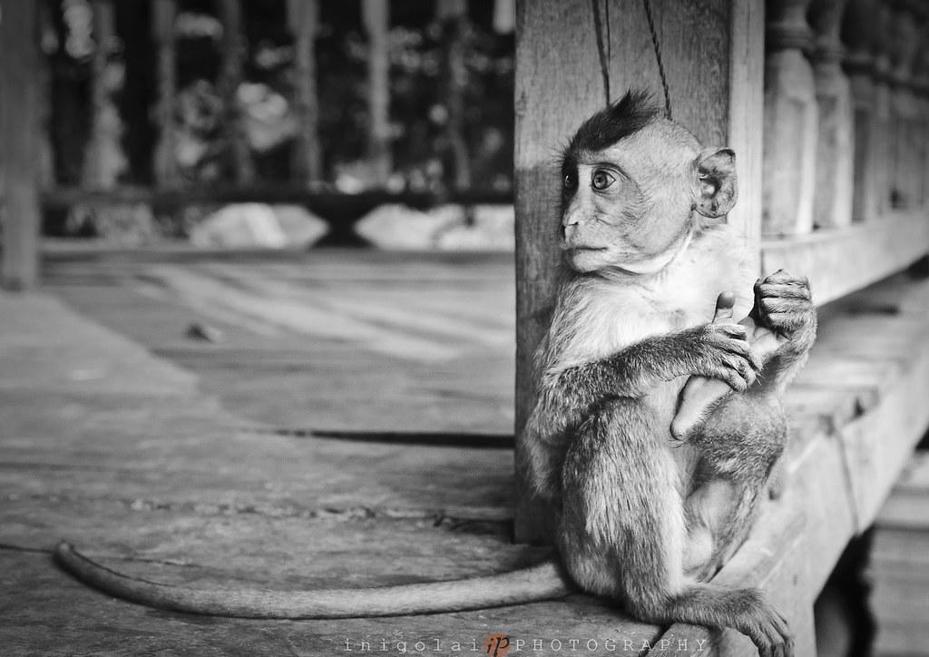 DON DET/yogi monkey