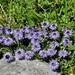 Matted Globularia (Alan Park)