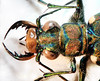Tiger beetle (Cicindelinae). A detailed description of the beetle will be written within the next few days.