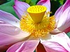 Lotus by Jane Photo1