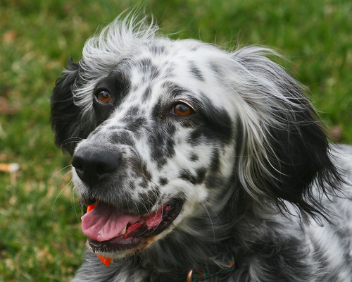 breed love english setter doggerel. Black Bedroom Furniture Sets. Home Design Ideas