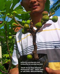 Pohon Tin, Buah Tin, by Figs Garden Indonesia 02150363366