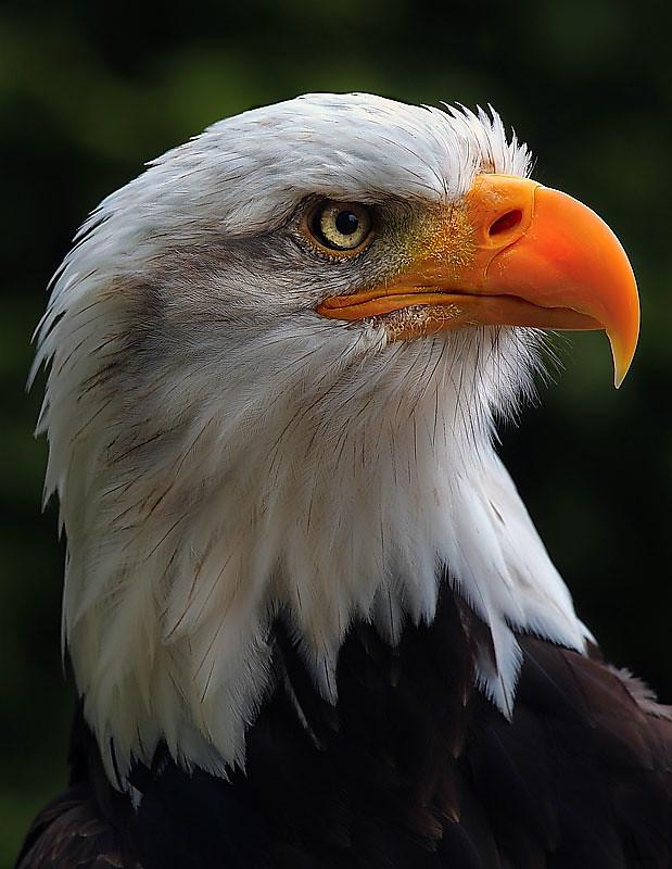 Bald headed eagle (Haliaeetus leucocephalus)  Eagle Heights Kent