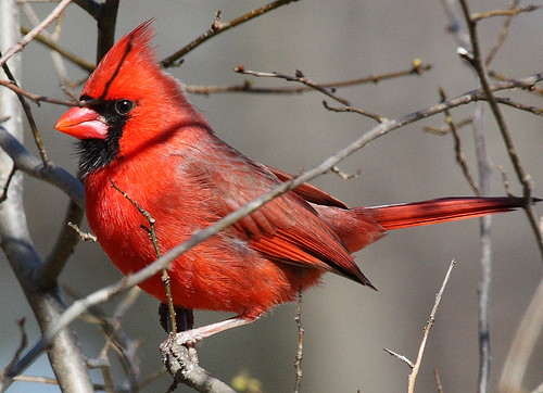 Criss-Crossed Cardinal