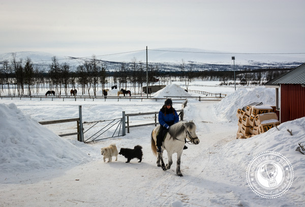 A Moose Safari Via Icelandic Horse - Riding an Icelandic Horse in Swedish Lapland