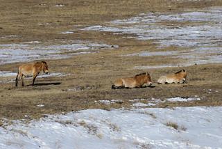 Wildlife Of Mongolia