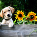 Sweet Puppy and Sunflowers