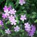 Saponaria ocymoides - Photo (c) Patrick Standish, algunos derechos reservados (CC BY)